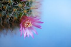 Cactus flower : Mammillaria zeilmanniana. Mammillaria zeilmanniana in bloom Royalty Free Stock Photography