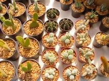 Cactus at flower market. Many basket of cactus at flower market Stock Photo