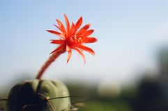 Cactus flower : Matucana madisoniorum Stock Photos