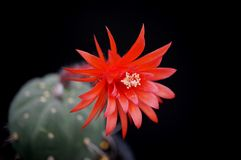 Cactus flower : Matucana madisoniorum. Matucana madisoniorum in bloom isolated Stock Images