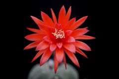 Cactus flower : Matucana madisoniorum. Matucana madisoniorum in bloom isolated Royalty Free Stock Image