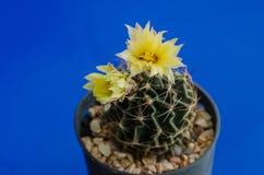 Cactus flower. Royalty Free Stock Photos