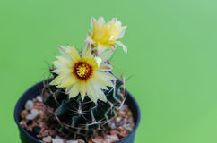 Cactus flower. Stock Photos