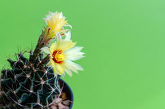 Cactus flower. Stock Images