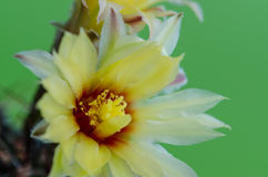 Cactus flower. Royalty Free Stock Photo