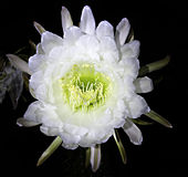 Cactus flower at night Royalty Free Stock Images