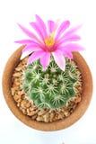 Cactus flower pink  closeup Royalty Free Stock Photos