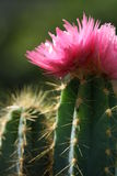Cactus Flower. Pink flower growing on a cactus Royalty Free Stock Photography