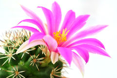 Cactus flower pink Stock Images