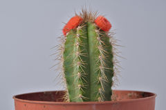 Cactus in a flower pot Stock Photo