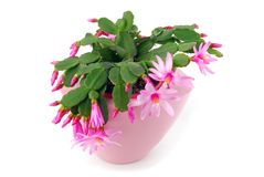 Cactus flower pot Hatiora Gaertneri Stock Photo
