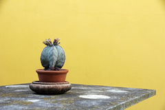 A cactus in a flower pot on a table Royalty Free Stock Photo