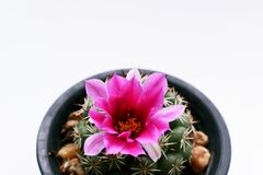 Cactus flower in pot on white background Stock Image