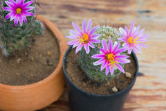 Cactus in flower pot on wood table Royalty Free Stock Image