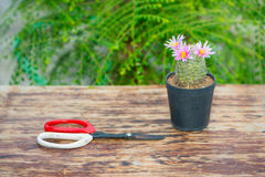 Cactus in flower pot on wood table and scissor Stock Photos