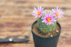 Cactus in flower pot on wood table and scissor Stock Images