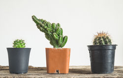cactus in flower pot Stock Images