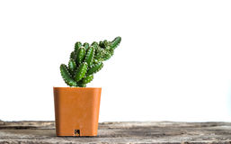 cactus in flower pot Royalty Free Stock Photos
