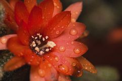 Cactus flower after the rain. A beautiful orange cactus flower adorned with raindrops after the heavy rain Stock Photo