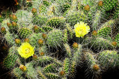 Cactus Flower in Southwestern Desert Stock Photography