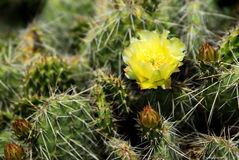 Cactus Flower in Southwestern Desert Royalty Free Stock Image