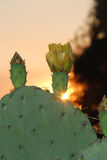 Cactus flower/ sunset Royalty Free Stock Photography