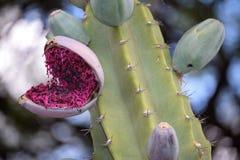 Cactus. Flower violet Stock Image