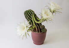 Cactus flower  on white Stock Image