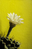 Cactus flower. White blooming cactus flower with a part of cactus tree and yellow background Royalty Free Stock Images