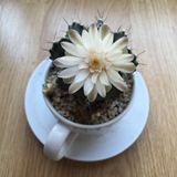 Cactus flower. In white ceramic pot stock photo