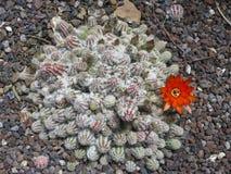 Cactus flowering Stock Photography