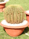 Cactus. A flowering Cactus against natural background Royalty Free Stock Image