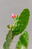 Cactus flowering Stock Images