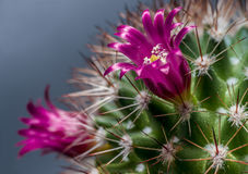 Cactus flowering Royalty Free Stock Photos