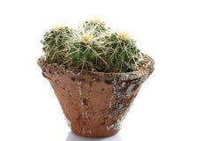 Cactus in flowerpot (Cactaceae) Royalty Free Stock Photos