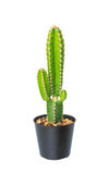 Cactus in flowerpot Royalty Free Stock Images