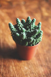 Cactus in flowerpot Royalty Free Stock Photos
