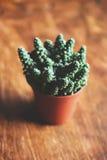 Cactus in flowerpot Stock Photography