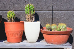Cactus in flowerpots Stock Photography