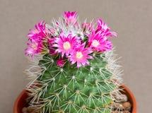 Cactus flowers Stock Image