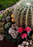 Cactus flowers  . Cactus flowers  on the garden Stock Photography