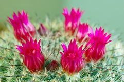 Cactus flowers royalty free stock photography