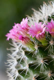 Cactus flowers. Pink flowers on cactus. Close-up on green background Royalty Free Stock Photo
