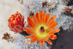 Cactus flowers. Royalty Free Stock Photos