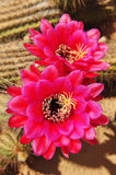 Cactus flowers. stock photos