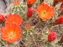Cactus flowers. Mojave mound cactus in flower stock photo