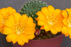 Cactus flowers Royalty Free Stock Photo