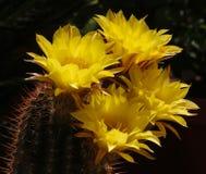Cactus Flowers Royalty Free Stock Photos