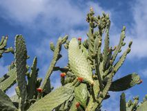 Cactus with flowers against a blue sky royalty free stock image