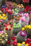 Cactus Flowers, Amsterdam Stock Image